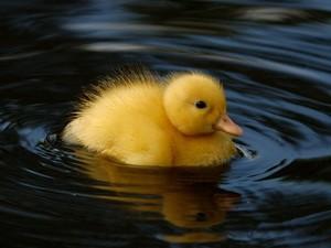 such a cute little vịt con