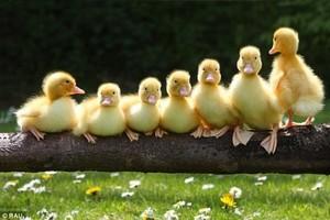 cute little ducklings on a log