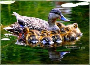 mama mallard ente with all their Babys