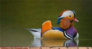 such a pretty duck