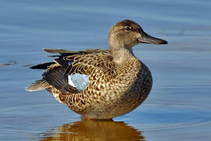female teal blue winged duck sitting in the water
