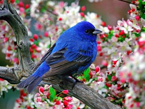absolutely beautiful bird on a cereja blossom árvore