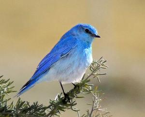 male mountain pássaro azul sitting on a arbusto, bush