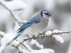 bluejay perched in a 木, ツリー
