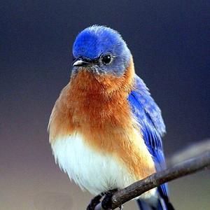 a beautiful bluebird lookin so pretty