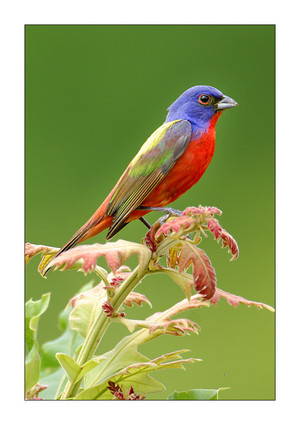 male painted bunting basking in the sun