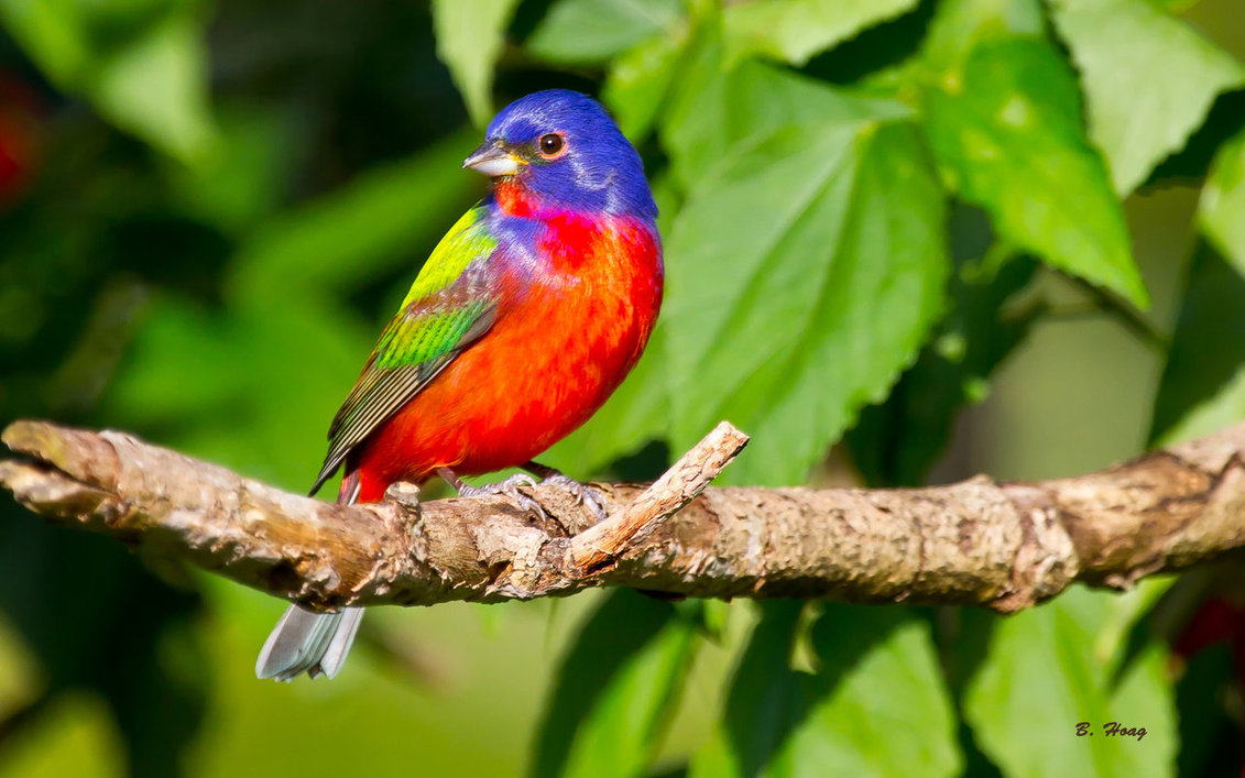 painted bunting perched on a branch - Birds Photo ...
