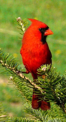 male cardinal in a pine tree