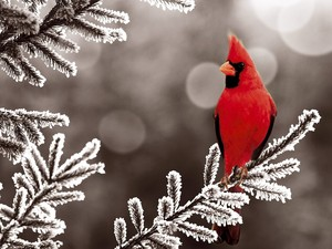 male cardinal perched in a tree in the snow