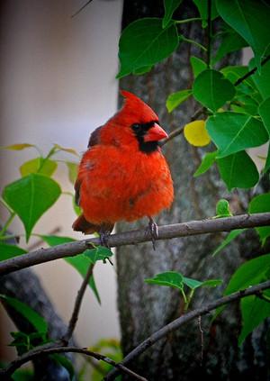 male cardinal enjoying the morning