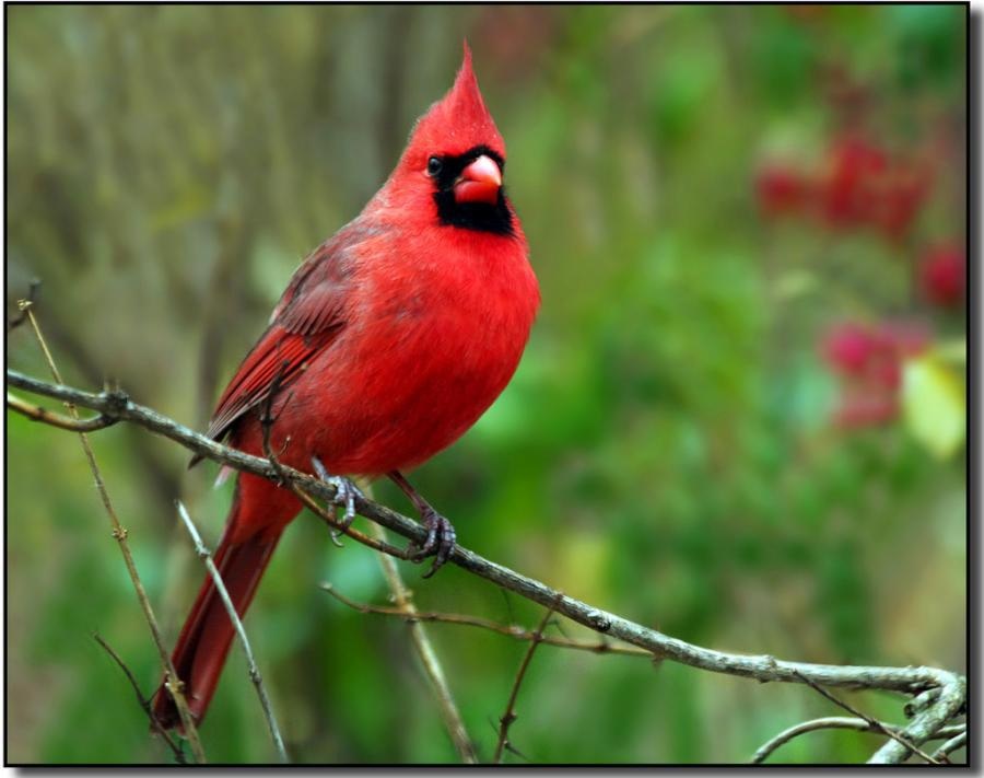 male cardinal perched on a tree branch - Birds Photo ...