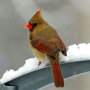 female northern cardinal on a window sill