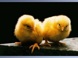 chick pair
