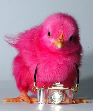 담홍색, 핑크 chick