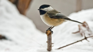 black capped chickadee, cincia bigia in the snow