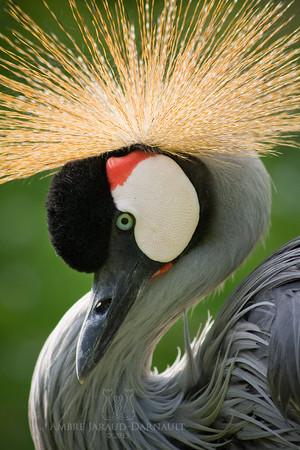 grey crowned kran