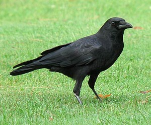 american black crow walking in the grass