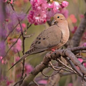 mourning 鳩 enjoying the ピンク お花