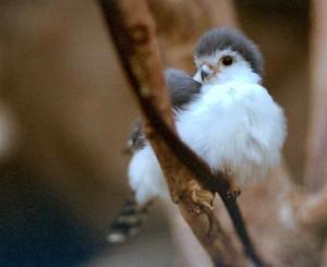 dwarf falke, falcon lookin cute