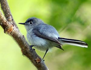 male blue gray gnatcatcher