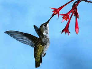 hummingbird getting nectar from a red bunga