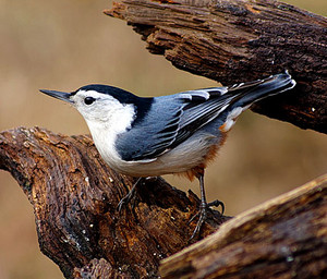 male white breasted nuthatch