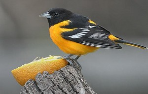 baltimore oriole, beautiful bird, eating an naranja