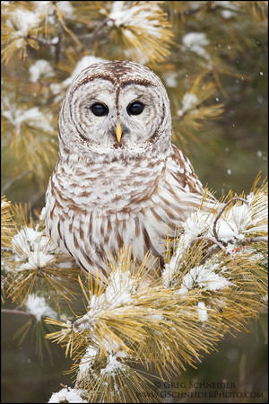 barred owl in the snowy درخت