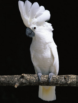 umberella cockatoo
