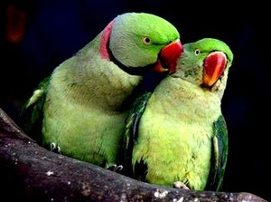 another pair of parrots