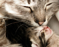 A Mother Cat Kissing One Of Her Kittens - cats photo