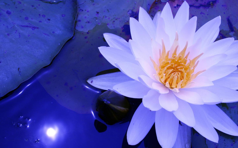 Water Lily Flowers Photo 36080364 Fanpop