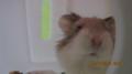 LAZER, MY ROBOROVSKI 仓鼠