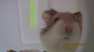 LAZER, MY ROBOROVSKI hamster
