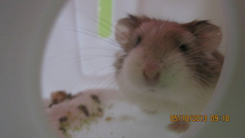 Hamsters wallpaper probably with a hamster called LAZER, MY ROBOROVSKI HAMSTER