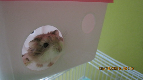 Hamsters wallpaper probably containing a hamster entitled LAZER, MY ROBOROVSKI HAMSTER