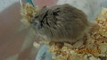 LAZER, MY ROBOROVSKI HAMSTER - hamsters photo