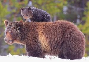 Mama & baby oso, oso de