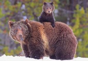 Mama & baby भालू