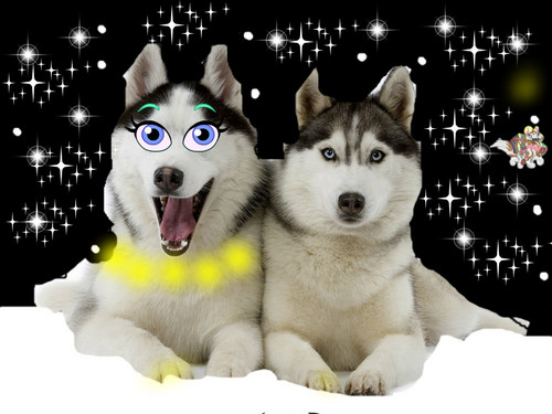 Cani wallpaper possibly with a siberian husky and an eskimo dog called a CHRITSMAS night to remember