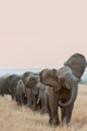 Elephants  - animals photo