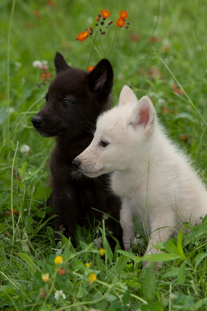 White and black 狼, オオカミ cubs