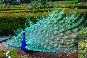 peacock with his wings all spread out