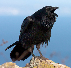 common raven squakin