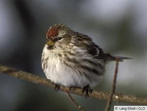 female common repoll