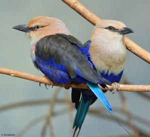 blue bellied roller pair