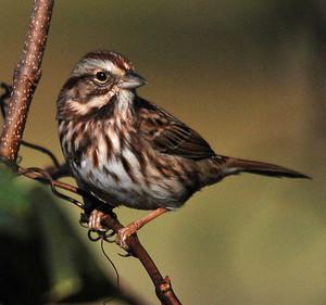 song sparrow on a baum limb