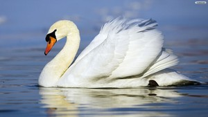 beautiful cisne
