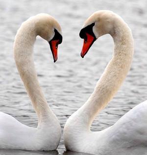 swan pair closeup