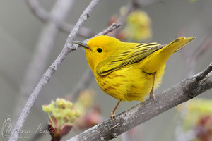 yellow warbler, wobbler enjoying the morning breeze